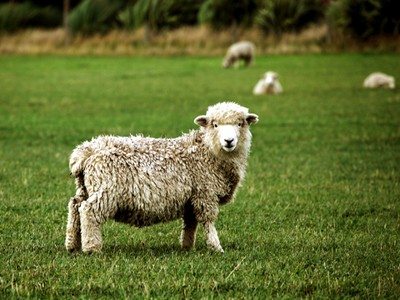 AUTH-NZ-sheep