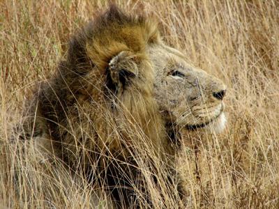 auth-africa-lion